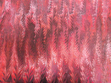 scarlet_feathers_full